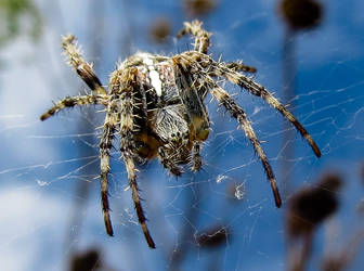 Araneus diadematus by Pattarchus