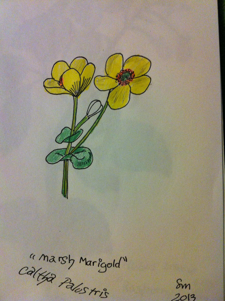 Marsh Marigold drawing by NightTimeMuse on DeviantArt