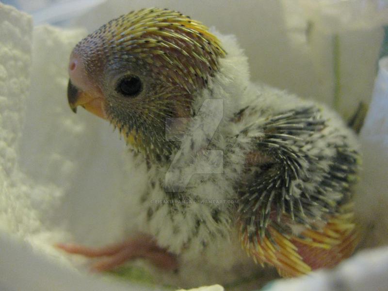 Cute Baby Parakeet by Eisaku-Panda