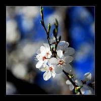flower - white by Serret