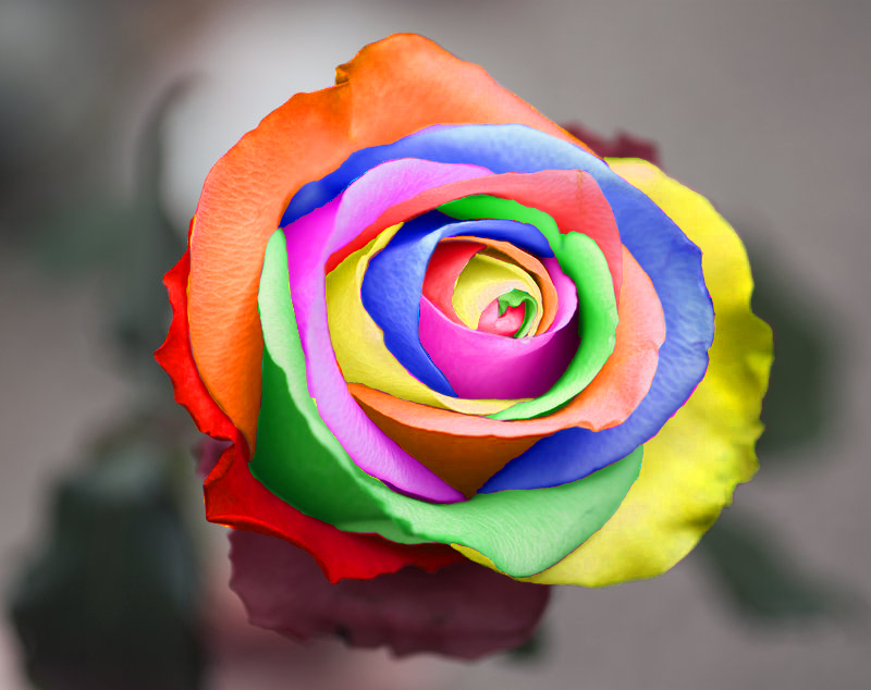 Rainbow rose by silverblaze92 on deviantart for Where to buy rainbow roses