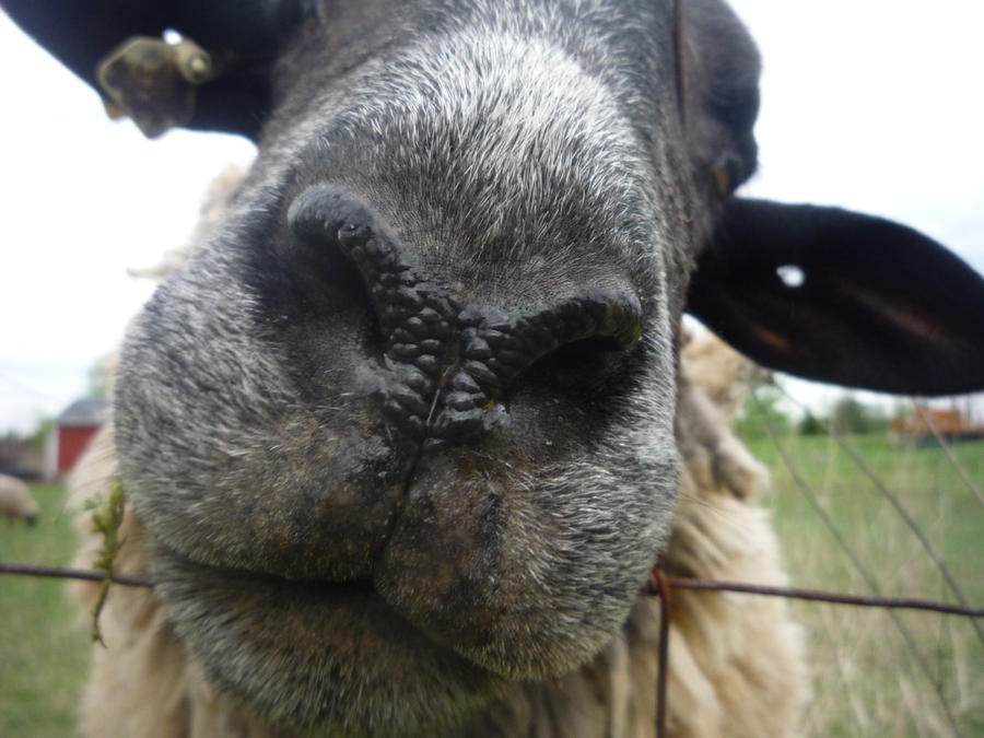 Sheep nose by fruits and spears on deviantart sheep nose by fruits and spears sciox Images