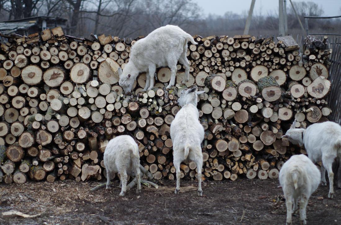 Goats by mac-simka