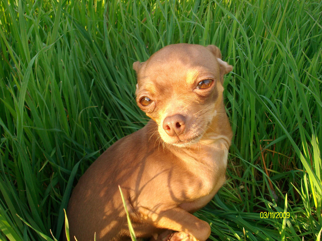 My Deer head Chihuahua by Cortana0452-9 on DeviantArt