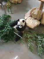 Panda Bear - Zoo Ouwehand Netherlands by Lineke-Lijn