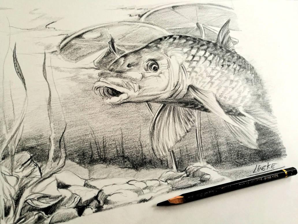 Carp fish pencil drawing by lineke lijn