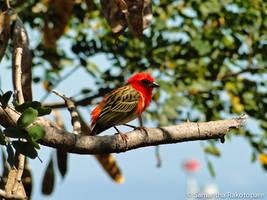 Red bird by kitty974