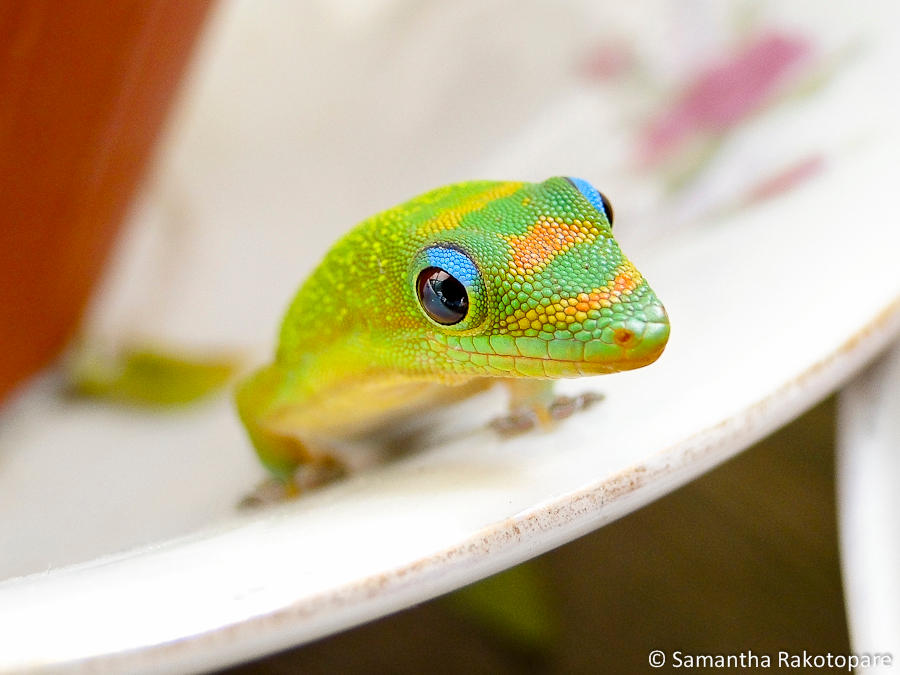 Gold dust day gecko 11
