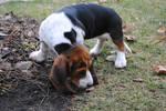 Basset Hound Pup 29