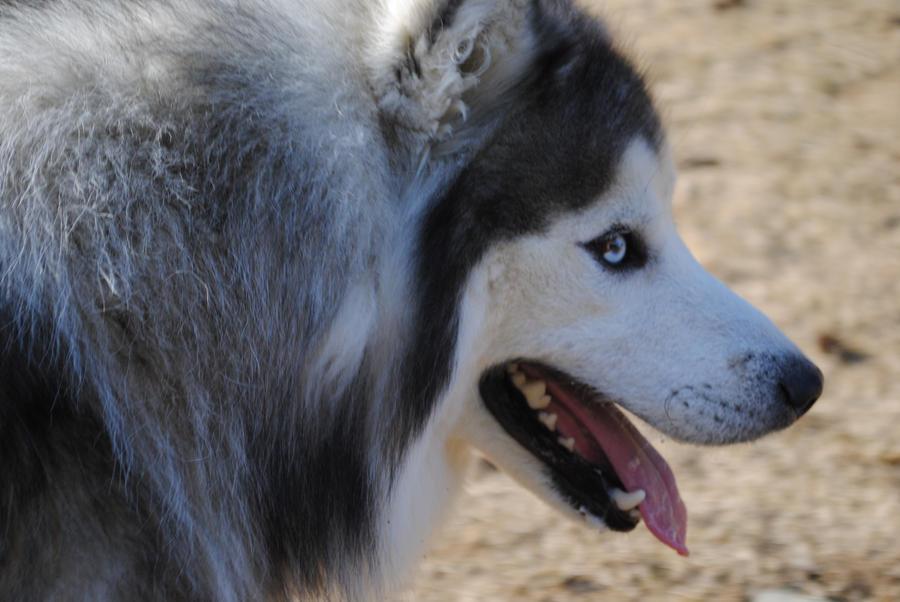 Image Result For Siberian Husky Adoption