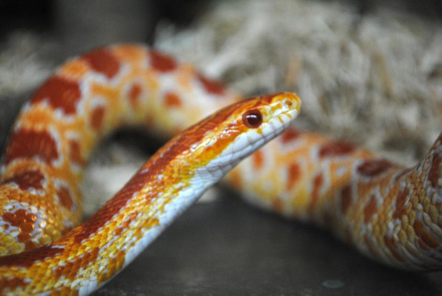Images of Corn Snakes Corn Snake by 8twilightangel8