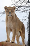 African Lion 8