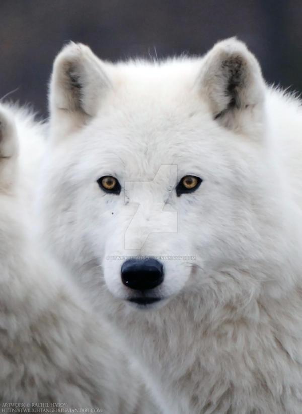 Arctic Wolf 13 By 8twilightangel8 On Deviantart