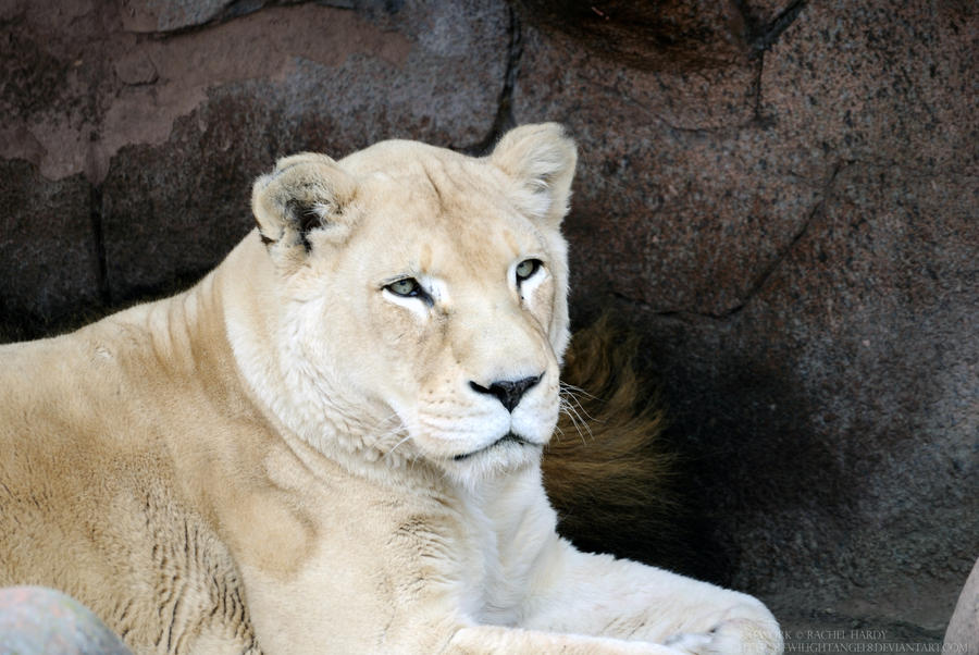 White Lioness 1 by 8TwilightAngel8 on DeviantArt