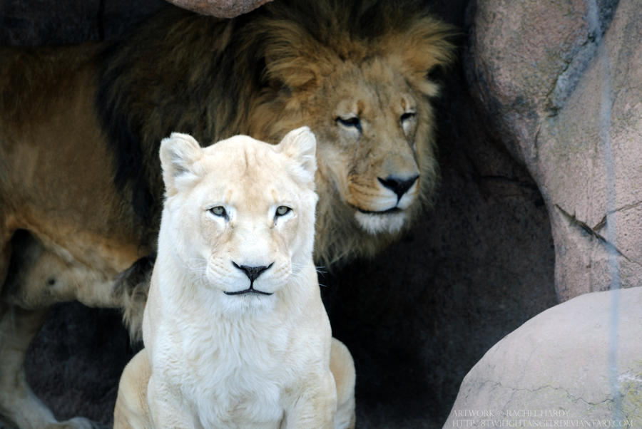 White Lioness 2 by 8TwilightAngel8 on DeviantArt