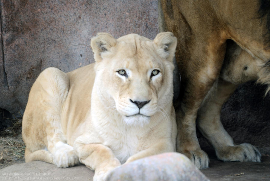 White Lioness 3 by 8TwilightAngel8 on DeviantArt