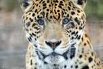 Spotted Jaguar 9