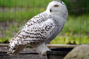 Elegant Snowy Owl by 8TwilightAngel8