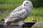Elegant Snowy Owl