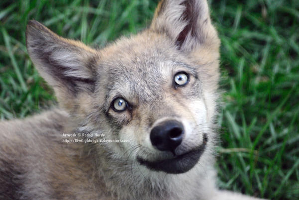 Image Result For Cute Baby Wolves