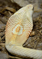 Albino Monocled Hood by 8TwilightAngel8