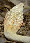 Albino Monocled Hood