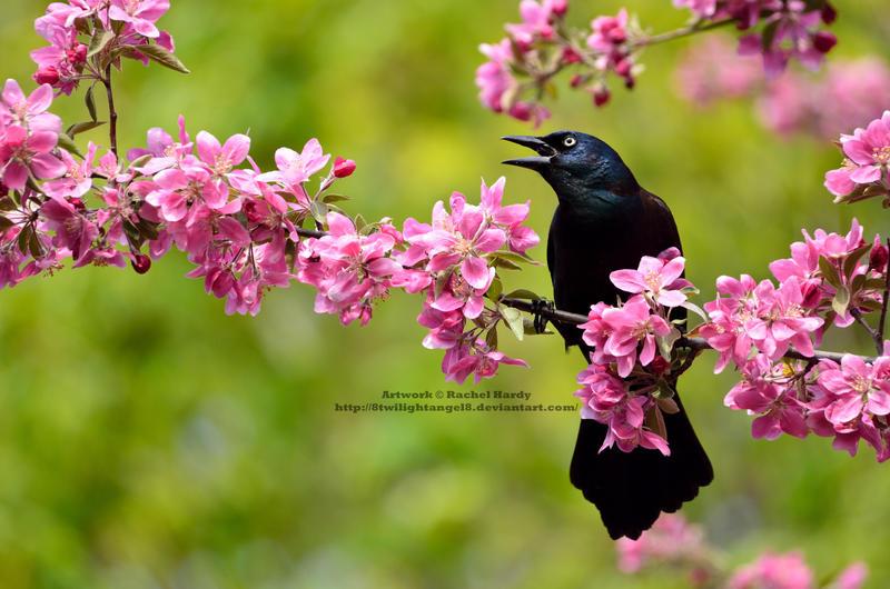 Spring Grackle by 8TwilightAngel8