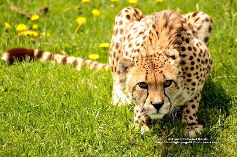 Crouching Cheetah by 8TwilightAngel8