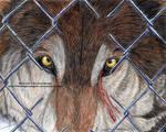Haliburton Wolf Release - Sorrow