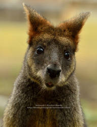 Wallaby by 8TwilightAngel8