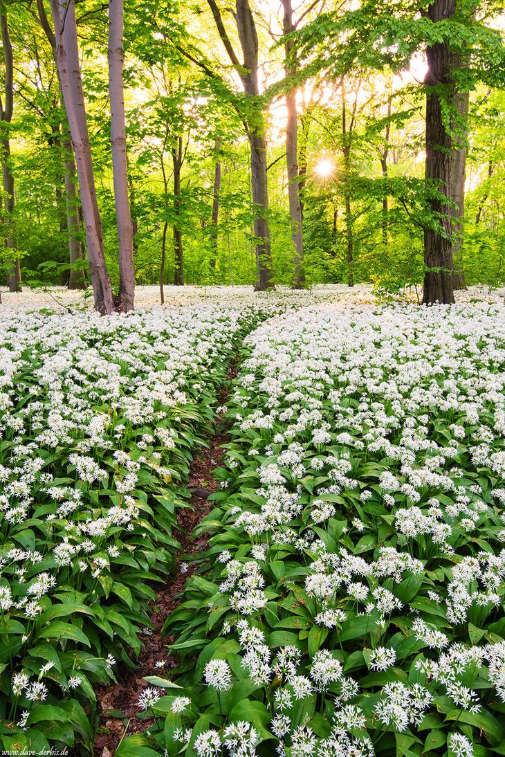 Wild Garlic Trail by Dave-Derbis