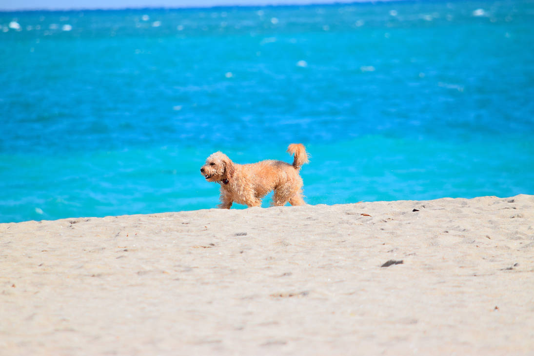 Dog walking on beach by Caine-of-Nod