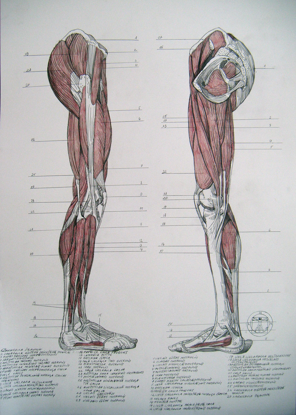 Anatomy of legs muscles