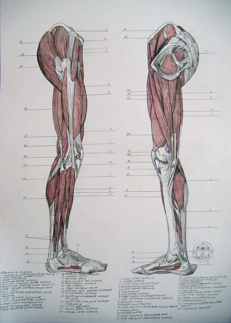 leg muscles drawing - photo #37