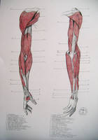 Muscles of arm by reinisgailitis