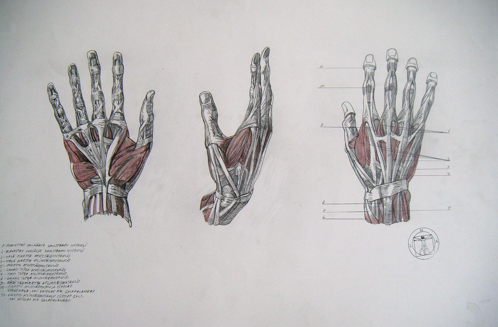 Muscles Of Hand By Reinisgailitis On Deviantart