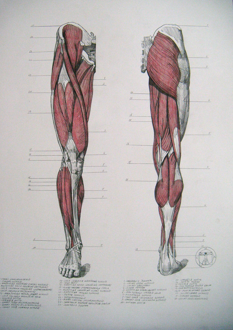 Muscles of legs. Front and back by reinisgailitis on DeviantArt