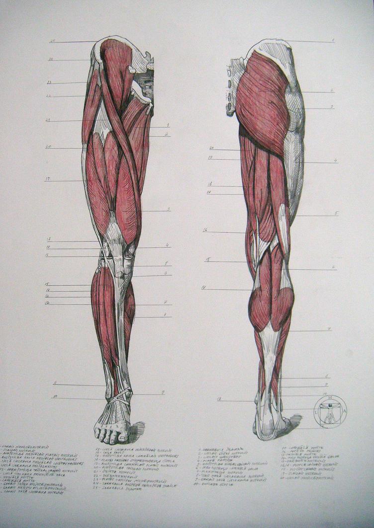 leg muscles drawing - photo #38
