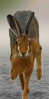 Hare by niveky