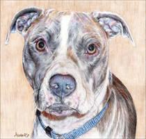 pit bull portrait by whiterabbitart
