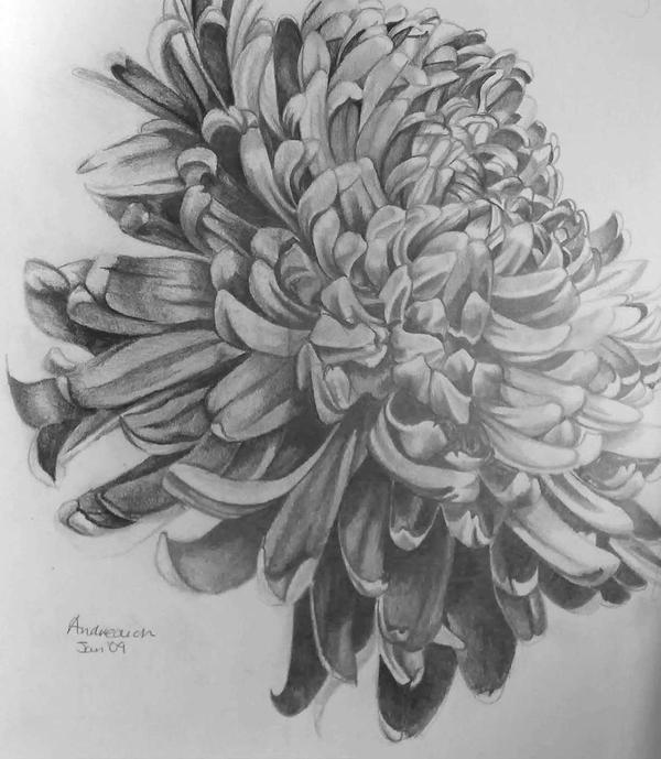 Chrysanthemum in pencil by tonyarama on DeviantArt