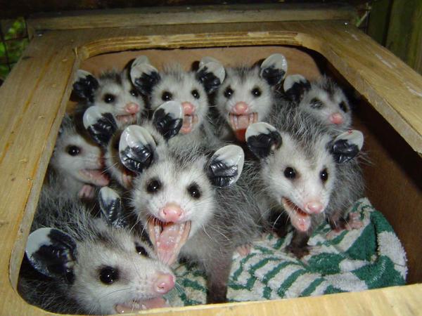 opossum by MUZICFORLIF