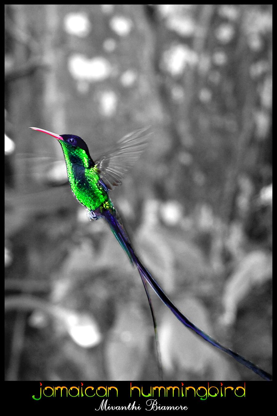 jamaican hummingbird by mivanthi on deviantart. Black Bedroom Furniture Sets. Home Design Ideas