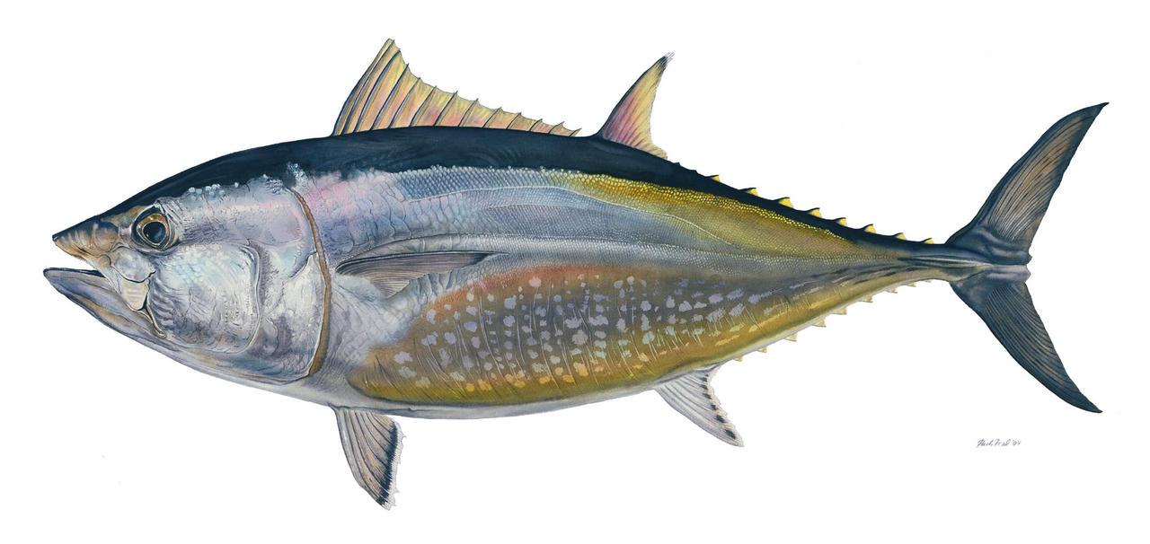 Bluefin maguro by markhal on deviantart for Bluefin tuna fishing