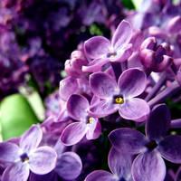 Purple Spring by SaphiraSwirl