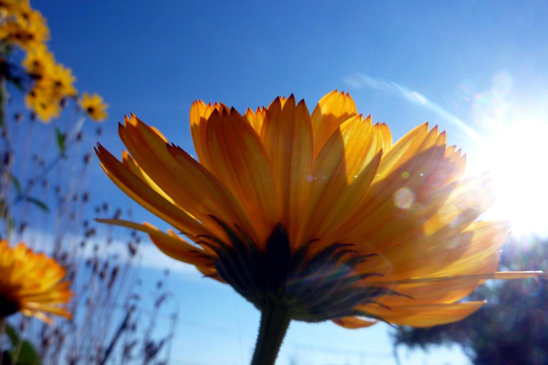 Flower in the sun by SaphiraSwirl