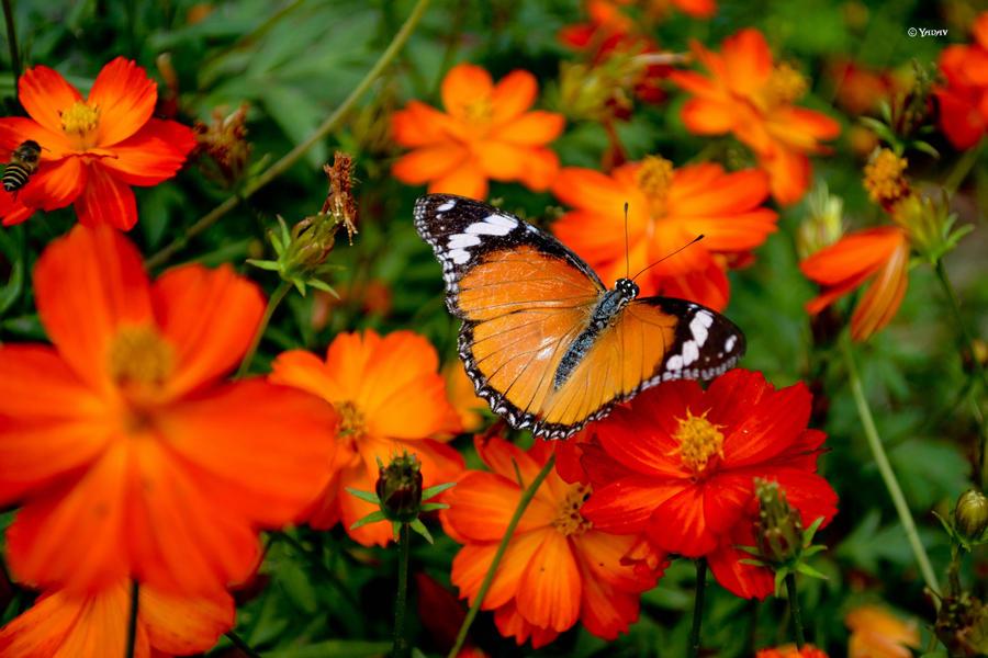 Butterfly by YadavThyagaraj