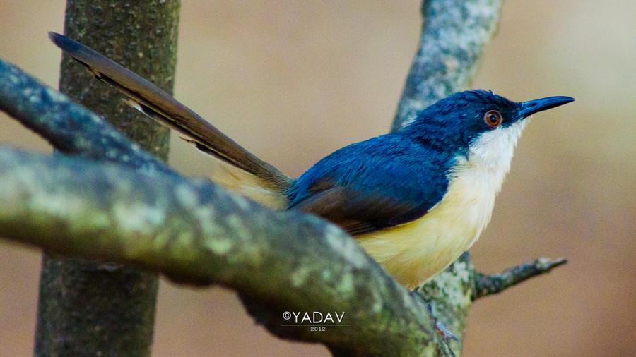 Blue Robbin by YadavThyagaraj