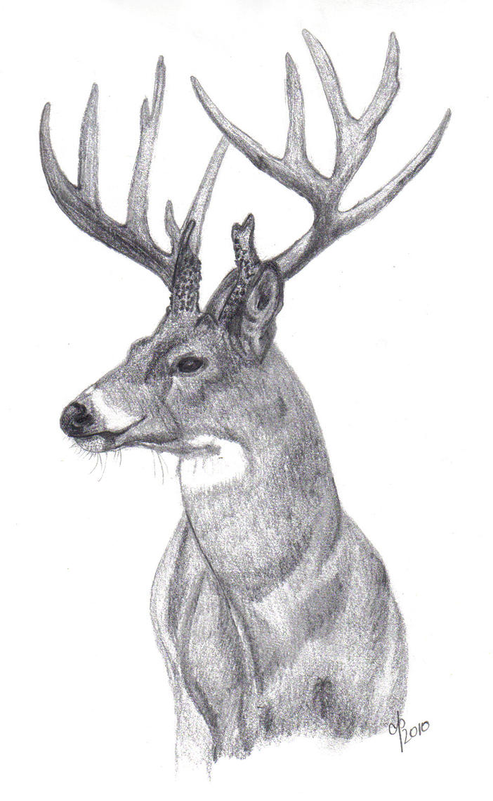 Whitetail Buck by cbp323Drawings Of Deer Bucks