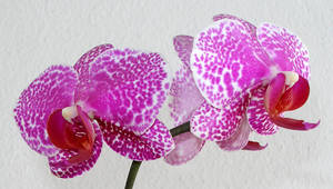 Orchid_14
